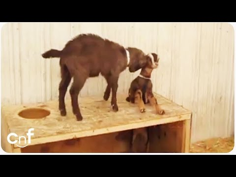 Goat Gets Stuck | New Whack-A-Goat Game