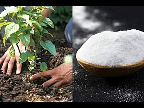 How Incredibly Useful Baking Soda Can Be To Your Garden Or Flowers!