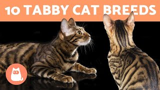10 TABBY CAT BREEDS  Cats with Striped Coats