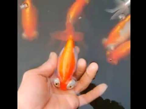 Celestial Eyed Goldfish Fast Facts