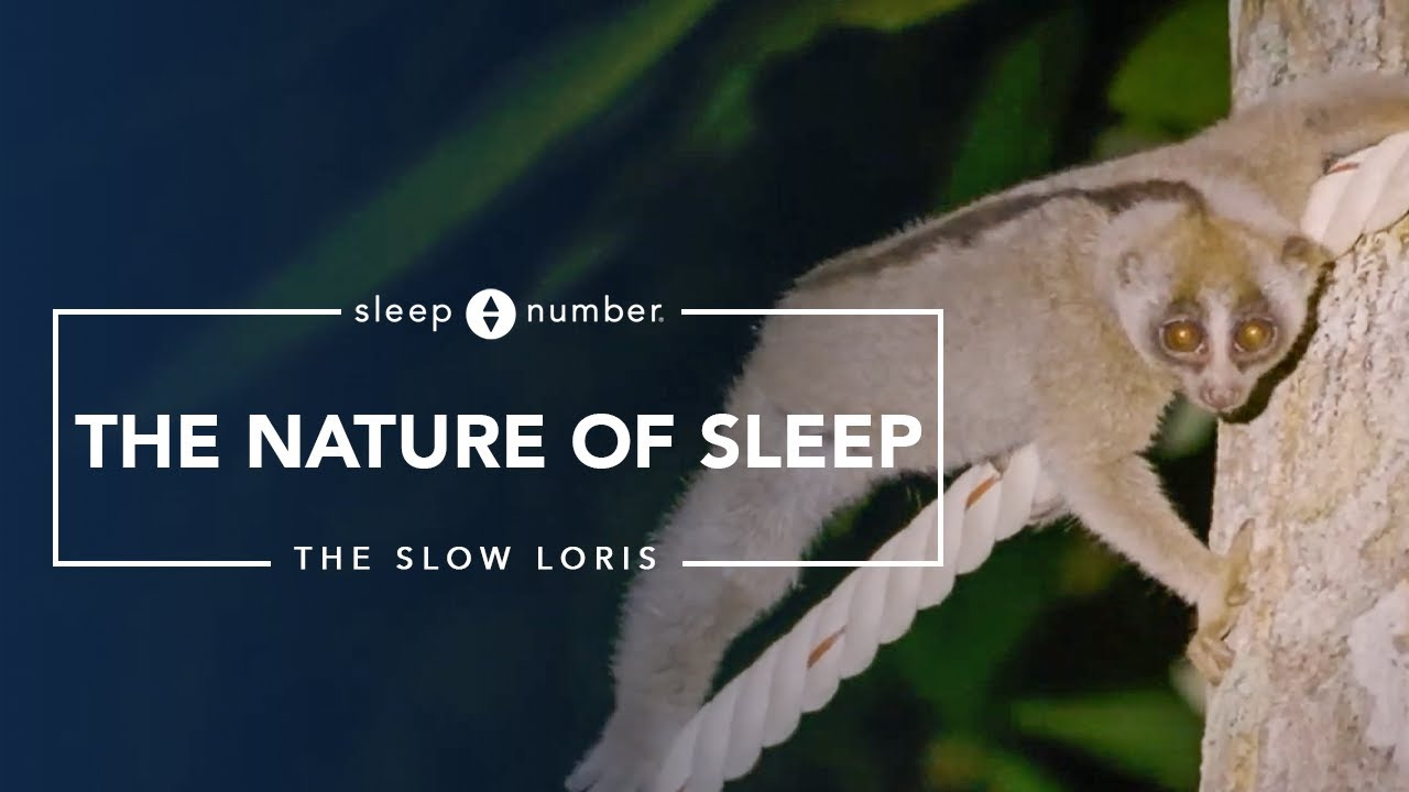 Nature of Sleep: The Slow Loris