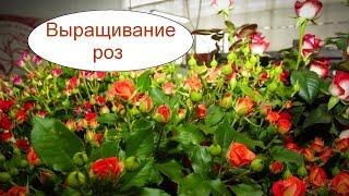 Выращивание роз в теплице. Бизнес идея на круглый год(, 2016-09-19T19:20:03.000Z)