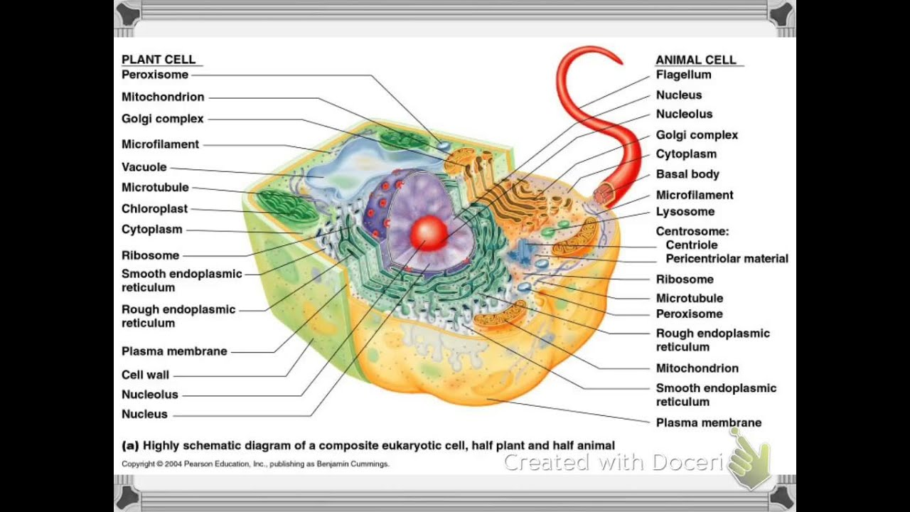 Images of Eukaryotic Cells Examples - #SpaceHero