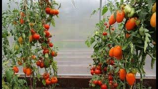 Как подвязать помидоры в теплице без узлов супер быстро(Очень быстрая подвязка помидор на любой высоте растения. Цепь выдерживает вес более 24 кг., 2015-05-28T23:41:27.000Z)