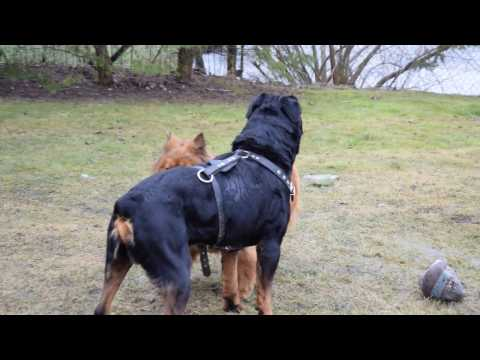 Rottweiler vs Chow chow mix - YouTube