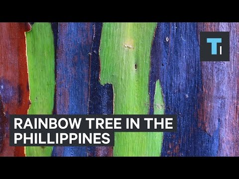 Rainbow tree from the Philippines