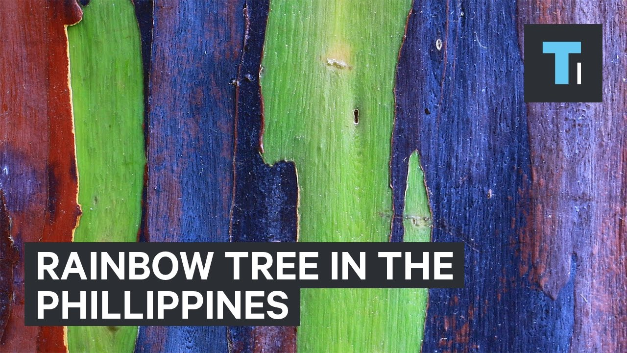Rainbow tree from the Philippines - YouTube