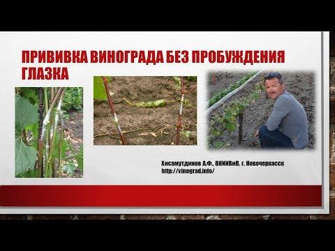 Прививка винограда без пробуждения глазка, Хисамутдинов АФ