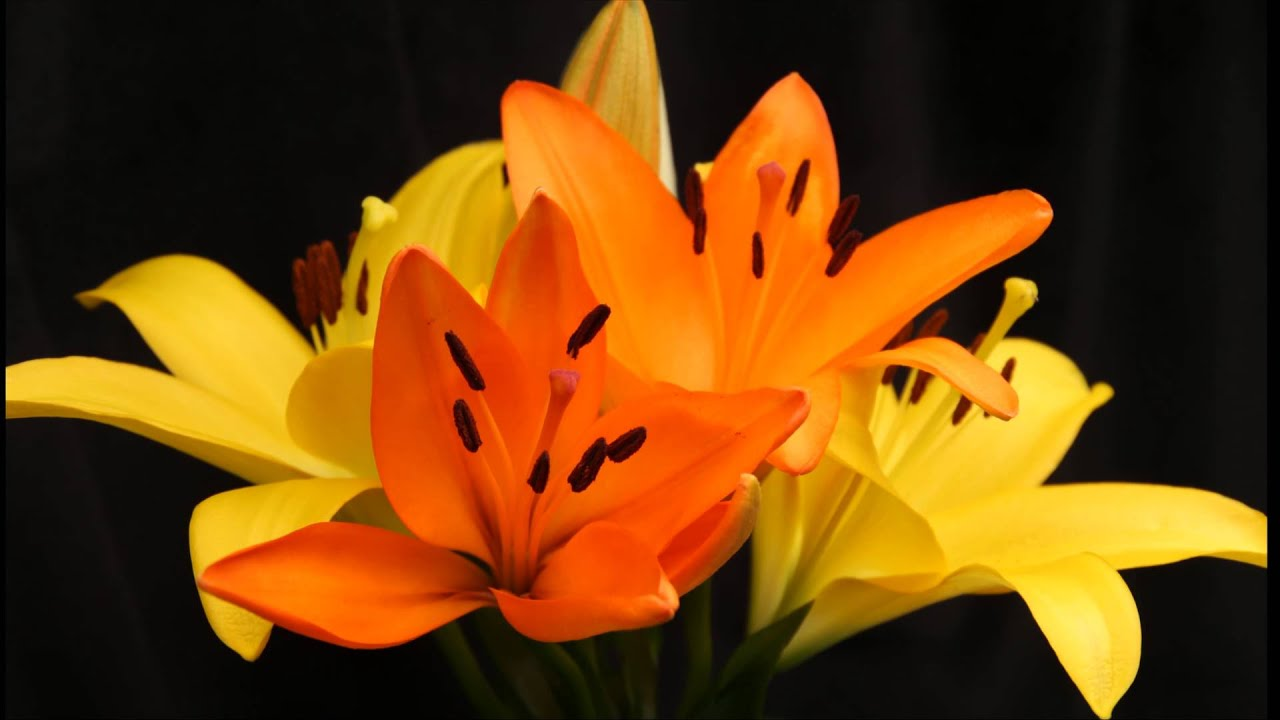 Yellow lilies flower opening time lapse in 4k youtube yellow lilies flower opening time lapse in 4k izmirmasajfo