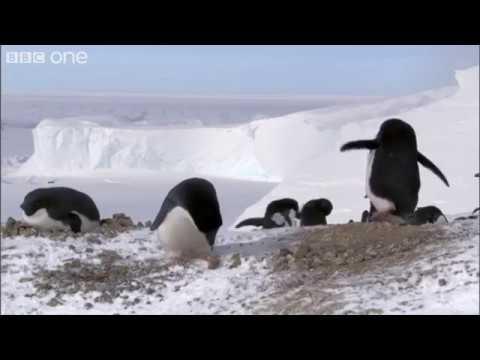 פינגווינים גנבים