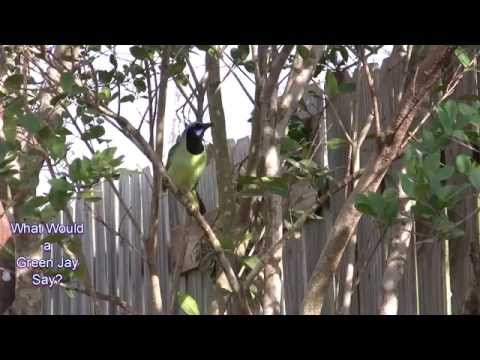 What Would a Green Jay Say?