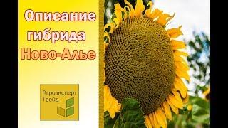 Подсолнечник Ново-Алье 🌻, описание гибрида 🌻 - семена в Украине