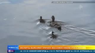 Массовую гибель уток заметили на севере Москвы