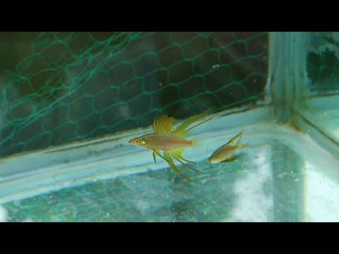 primera reproducción de peces arcoiris