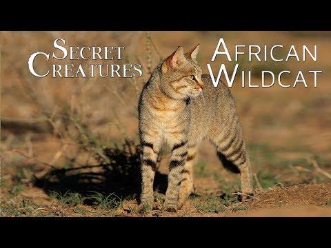Secret Creatures: African Wild Cat