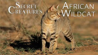 Secret Creatures: African Wild Cat