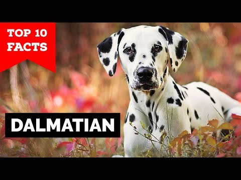 Dalmation - Top 10 Facts