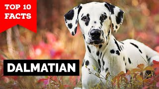 Dalmation  Top 10 Facts