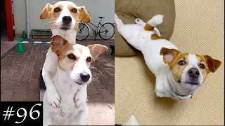 New Jack Russell Videos | Jack Russell Terrier Compilation