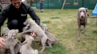 Grey Valley Weimaraner Puppies