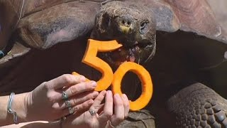 Огромная черепаха отпраздновала 50-летие (новости)