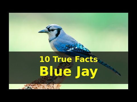 10 True Facts About Blue Jay For Kids With Audio
