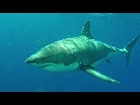 Diving with the Great White Shark 4K