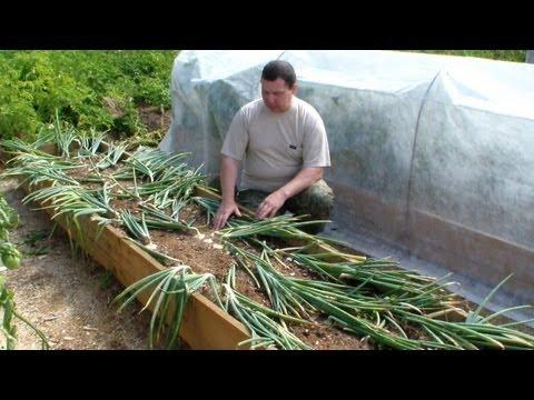 видео: Выращивание лука репки без лишних хлопот