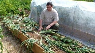 Выращивание лука репки без лишних хлопот(Лук один из самых распространенных овощей, без которого кулинария просто невозможна, поэтому почти все..., 2013-07-29T17:06:18.000Z)
