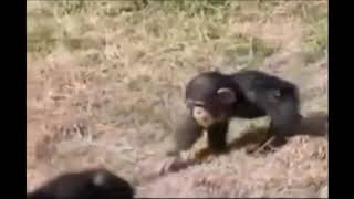 chimps VLIP-VLIP LV