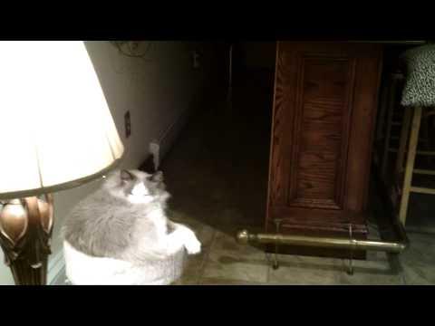 Smart Ragdoll cat