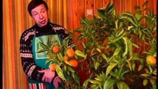 видео Как хранить мандарины в домашних условиях