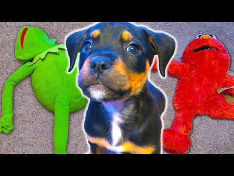 Puppy ATTACKS Kermit the Frog and Elmo!