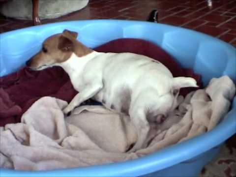 jack russell gives birth   youtube