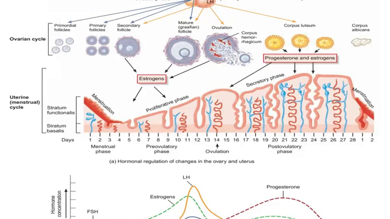 Female reproductive system hormonal interactions in the ovarian and female reproductive system hormonal interactions in the ovarian and uterine cycles ccuart Images