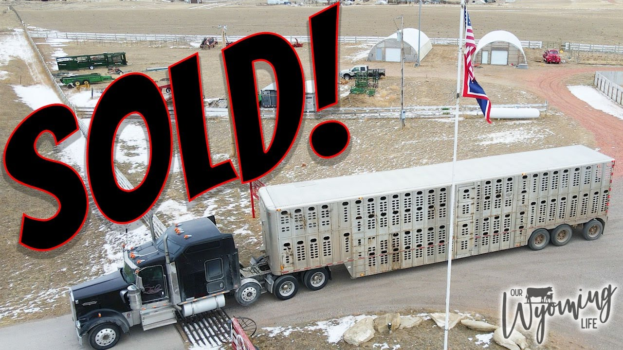 We Sold the Calves!!