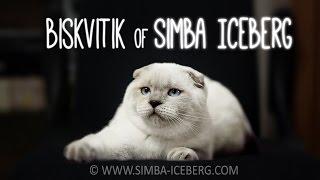 Скоттиш-фолд блю поинт кошка Biskvitik of Simba Iceberg