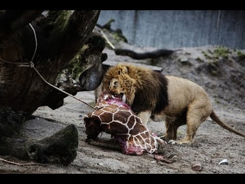 Baby Giraffe Killed, Chopped to Feed Lions in Front of Children at Copenhagen Zoo