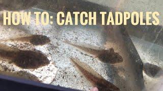 How To Catch Tadpoles (Tutorial)
