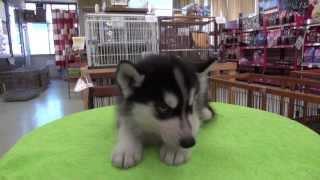 シベリアンハスキーの子犬です。 子犬の詳細は → http://www.angelwan.c...