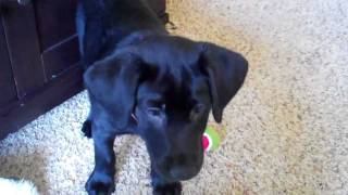 Puppy Clicker Training: Smart 10 Week Old Black Labrador Part 6