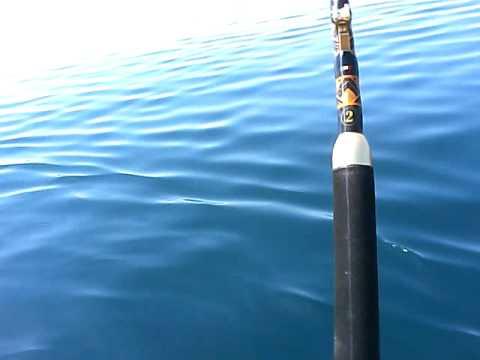 Lupogrigio tonno con ril. da solo.AVI
