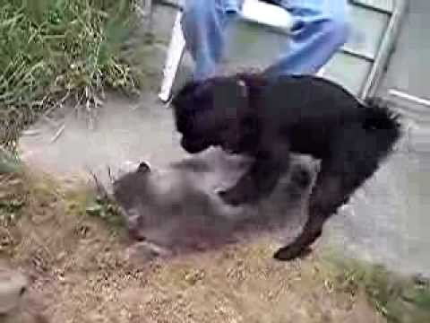 Male Dog Trying To Hump Male Cat