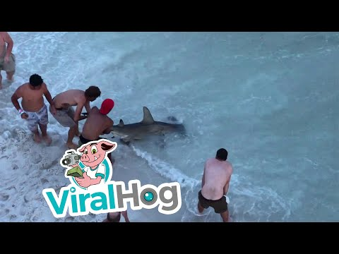 Swimmers Shocked by Huge Hammerhead Shark || ViralHog