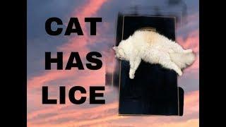 CAT HAS LICE