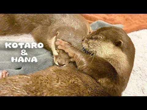 カワウソコタローとハナ-寝てるハナを毛づくろいしてあげる優しいコタロー-otter-kotaro&hana-while-she-was-sleeping