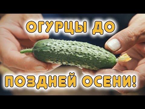 Вопрос: Какой сорт огурцов плодоносит всё лето?