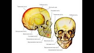Анатомия. Скелет. Строение