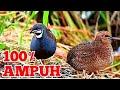 Suara Pikat Burung Pipikau Puyuh Batu Terbaik  Mp3 - Mp4 Download