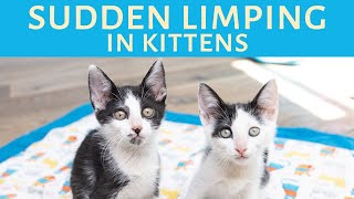 Kittens suddenly limping? Here's how to help kittens with limping calici.
